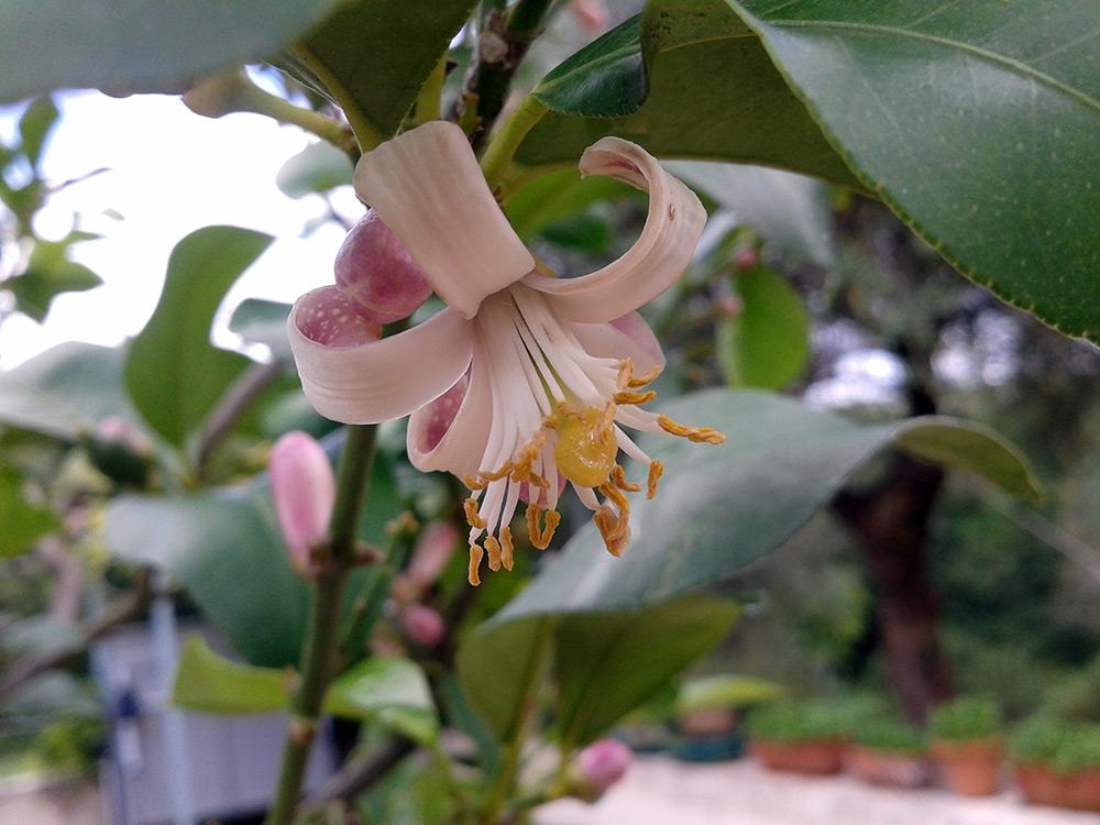 Fiore di limone